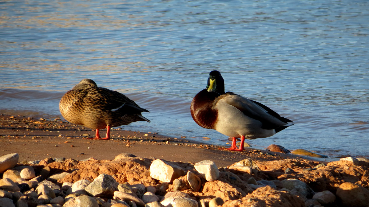 Lake Powell ducks