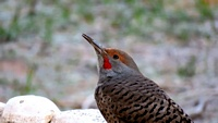 red shafter flicker