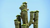 cactus, saguaro, bloom, flowers