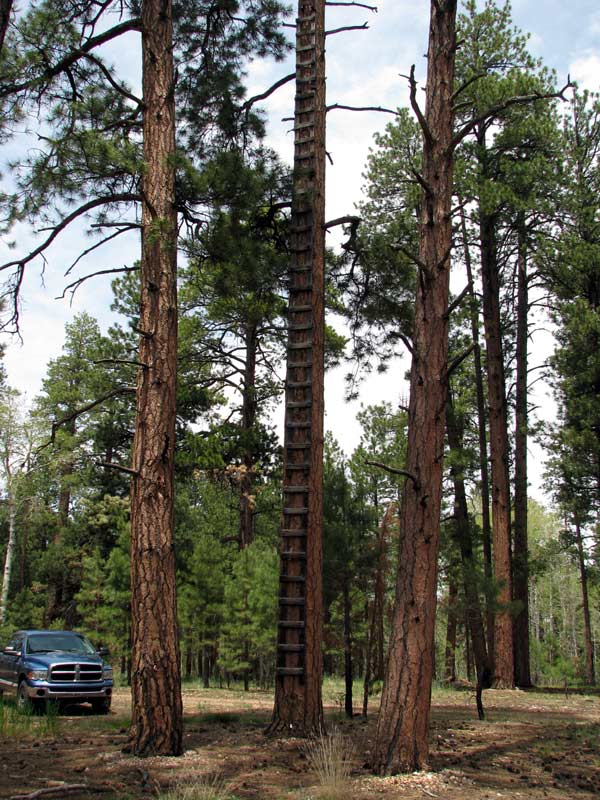 lookout tree, ladder